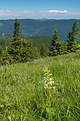 Lesser butterfly orchid (Platanthera bifolia) in Vosges secondary meadow near Grand Ballon, Vosges, France