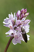 Click beetle (Ctenicera cuprea) on Spotted Orchis (Dactylorhiza maculata) flower