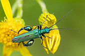 Thick-legged Flower Beetle (Oedemera nobilis) male on Common Ragwort (Jacobaea vulgaris) flower, France