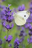 Southern small white (Pieris mannii) on Lavender (Lavandula sp), Lorraine, France