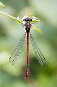 Damselfly (Pyrrhosoma nymphula), Lorraine, France