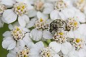 Hide beetle (Dermestidae sp) on Milfoil (Achillea millefolium), Bouxières aux dames, Lorraine, France