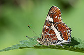 Map Butterfly (Araschnia levana) summer black form on leaf, Saint-Nicolas de port, Lorraine, France