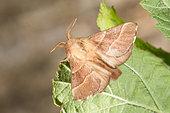 Lackey (Malacosoma neustria) on leaf, Bouxières aux dames, Lorraine, France