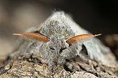 Lobster Moth (Stauropus fagi), Bouxières aux dames, Lorraine, France