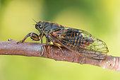 New forest cicada (Cicadetta montana), Bouxières aux dames, Lorraine, France