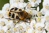 Bee Beetle (Trichius rosaceus) on Milfoil (Achillea millefolium), Bouxières aux dames, Lorraine, France