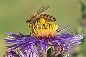Abeille domestique (Apis mellifera) corbeilles pleines de pollen, Jardin botanique Jean-Marie Pelt à Nancy, Lorraine, France