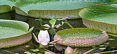 Amazon Water Lily (Victoria amazonica) flower, Jean-Marie Pelt Botanical Garden in Nancy, Lorraine, France