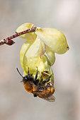 Tawny minning bee (Andrena fulva), wild bee on Japanese hazel flower (Corylopsis spicata), Jean-Marie Pelt botanical garden in Nancy, Lorraine, France