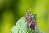 Squash Bug (Enoplops scapha), Bouxières aux dames, Lorraine, France