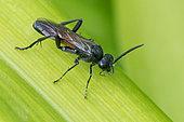 Sawfly (Macrophya annulata), Bouxières aux dames, Lorraine, France