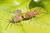 Box Bug (Gonocerus acuteangulatus) mating, Bouxières aux dames, Lorraine, France