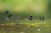 Banded demoiselle (Calopteryx splendens) chase between males over water, Esch River, Jezainville, Lorraine France