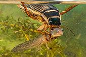 Great diving beetle (Dytiscus marginalis) female having captured an alpine triton larva (Ichtyosaurus alpestris), Reine Forest, Lorraine, France