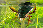 Great diving beetle (Dytiscus marginalis) male breathing on the surface, beetles placing the back of the body on the surface to collect an air bubble, Gondreville, Lorraine, France