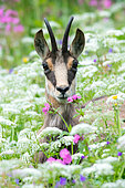 Chamois (Rupicapra rupicapra) in the flowers, Hohneck, Vosges, France
