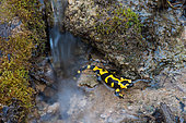 Fire Salamander (Salamandra salamandra) female seeking a spawning site, Lorraine, France
