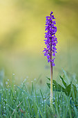 Early purple Orchid (Orchis mascula) flower in the dew, nature reserve Montenach, Lorraine, France