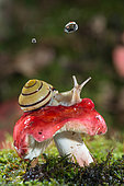 Snail on mushroom and raindrop, Forest of the Queen, Lorraine, France