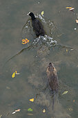 Portrait of Coypu (Myocastor coypus) with Common Coot (Fulica atra) in water, Ill river, Alsace, France