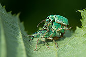 Nettle weevil (Phyllobius pomaceus) mating, 2 males fighting to be able to mate on the back of the female, Bouxières-aux-dames, Lorraine, France