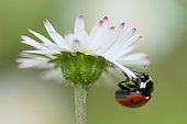 Sevenspotted lady beetle (Coccinella septempunctata) on Lawndaisy (Bellis perennis) flower in a garden, France