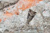 Buttoned Snout (Hypena rostralis) wintering cavernous butterfly, Mont Saint-Quentin Fort, Lorraine, France