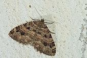 Incertaine (Triphosa dubitata), papillon hivernant, Ecrouves, Lorraine, France