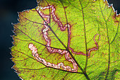Gallery of Leafminer larvae on Bramble leaf (Rubus sp), France