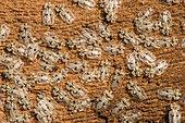 Sycamore Lace Bug (Corythucha ciliata) on plane bark, Canal edge, Mulhouse, Alsace, France