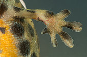 Common Newt (Lissotriton vulgaris), detail of the paw of a breeding male, Saulxures-les-Nancy, Lorraine, France
