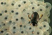 Aquatic beetle (Agabus bipustulatus) on a spawning of European Frog, Saulxures-les-Nancy, Lorraine, France