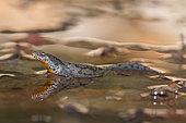 Alpine Newt (Ichthyosaura alpestris), female, Bouxières-aux-dames, Lorraine, France