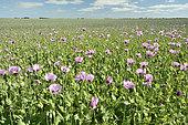 Poppy field, Beauce, Center-Loire Valley, France