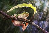 Sooner or later it will stop raining. Italian Tree Frog (Hyla intermedia), Luzzara, Reggio Emilia, Italy