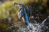 Fishing sequence. King fisher (Alcedo atthis) fishing, Argenta, Ferrara, Italy