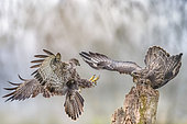 Challenge between buzzards (Buteo buteo) two buzzards fighting for the perch, Valli di Argenta, Ferrara, Italy