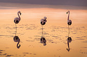 flamingos at sunset It's time to rest in the Laguna Chaxa. Atacama Desert Chile