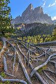 Saas de Putia (2875 m) dans les Dolomites, Racines de Pin cembro déterrées par le piétinement touristique, Massif des Dolomites, Tyrol, Italie