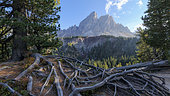 Saas de Putia (2875 m) in the Dolomites, Roots of cembro pine unearthed by trampling tourism, Massif des Dolomites, Tyrol, Italy