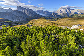 Mugo pines (Pinus mugo) prostrate and sharp peaks in the Dolomites, seen from the foot of Tre Cime of Lavaredo, in the distance, Cadini de Misurina and Mount Cristallo, Natural Park of Tre Cime, Massif of the Dolomites, Tyrol, Italy