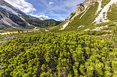 Subalpine landscape of the Val de Fanes in the Dolomites, vivid scree, prostrate mugo pines and larches: typical Dolomite landscape, Val di Fanes, Fanes-Sennes-Braies Nature Park, Dolomites, Tyrol, Italy