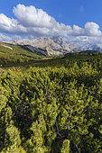 Mugo pine (Pinus mugo) in the Dolomites, prostrate mugo pines and larches: typical Dolomite landscape, Alpe de Sennes, Fanes-Sennes-Braies Nature Park, Dolomites Massif, Tyrol, Italy