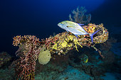 Deep reef, a Bluefin trevallow (Caranx melampygus) curious to see biped at almost 80 meters deep, Mayotte