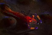 Emperor shrimp on Coriocella at 69 meters depth, Mayotte