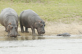 Hippopotamus (Hippopotamus amphibius). Newborn hippopotamus. Two hippopotamuses welcome the newborn while the mother is still recovering in the water after giving birth. Kruger N.P. South Africa