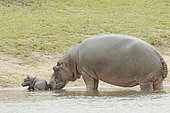 Hippopotamus (Hippopotamus amphibius). Newborn hippopotamus and his mother, a few minutes after birth. Kruger N.P. South Africa