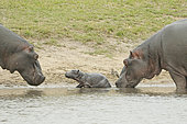 Hippopotamus (Hippopotamus amphibius). Newborn hippopotamus. Arrival of the mother (right) with, still present, one of the hippopotamuses coming to greet the newborn. Kruger N.P. South Africa