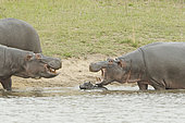 Hippopotamus (Hippopotamus amphibius). Newborn hippopotamus. The mother prevents other hippos from approaching her newborn baby. Kruger N.P. South Africa